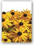 Custom Black-Eyed-Susan Simply Floral Seed Packets - Imprinted