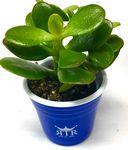 Custom Succulent in Silk Screened Mini Cup