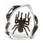 Custom Lucite Paperweights with Real Tarantula, 7 x 6.6 x 1.4
