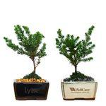 Custom Mini Japanese Juniper Bonsai Tree in 4