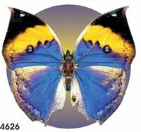 Black & Blue Butterfly Acrylic Coaster w/ Felt Back
