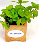 Custom Spearmint Plant in Wood Grain Pot