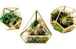 Custom Air Plants in Geometric Glass Terrarium