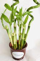 Bamboo in Round Wood Ceramic Vase
