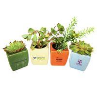"""Assorted Succulents in 3"""" Ceramic Pot"""