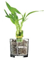 "3 Shoots of 6"" Lucky Bamboo in 3"" Glass Vase"