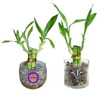 "3 Shoots of 4"" Lucky Bamboo in 2.5"" Oval or Round Glass Vases"