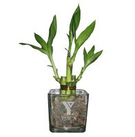 "4 Shoots of 4"" & 6"" Lucky Bamboo in 3"" Glass Vase"